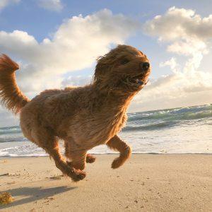 Happy dog running along Dog Friendly Beach in Cornwall