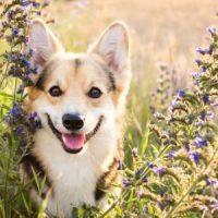 Corgi enjoying the flowers in one of Scotland's Gardens - a dog friendly paradise