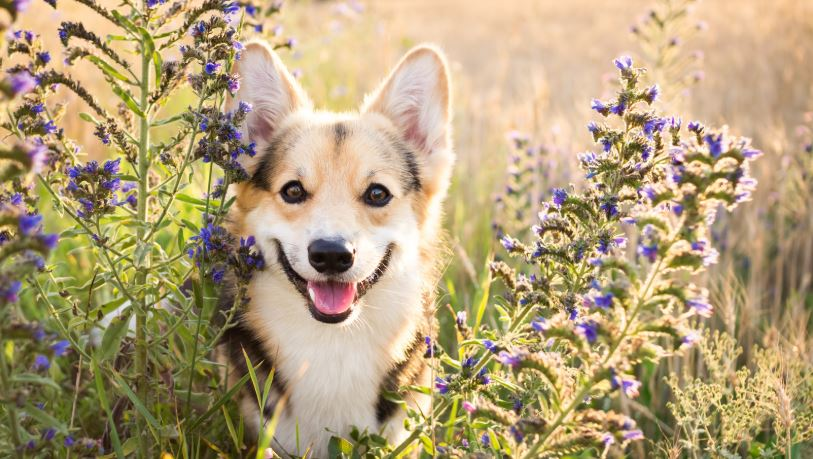 Corgi enjoying the flowers in one of Scotland's Gardens - a dog friendly paradise