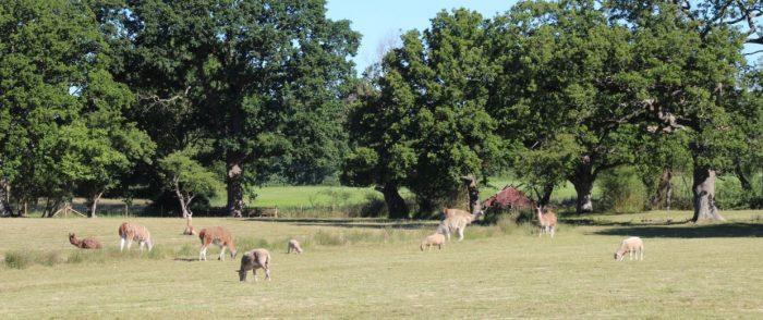 A field of llamas in Kent at Charling Buds Farm, Kent