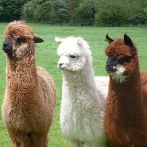 Three Alpacas at Grange Farm Country Cottages, Oxfordshire