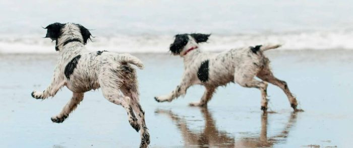 Two spaniels having a great holiday running along the beach. Discover dog friendly cottages in Suffolk with Suffolk Hideaways in the East of England.