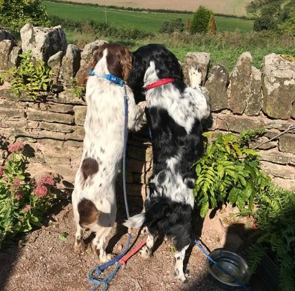 Two Spaniels peering over a dry stone wall and enjoying beautiful Herefordshire country views.
