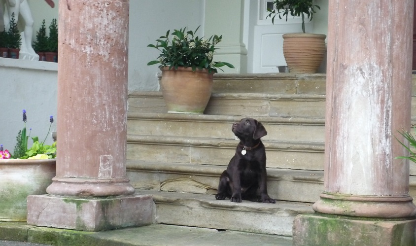 They love their dogs at Overwater Hall in the North East of England and this little black lab pup is very much enjoying the view from the grand pillared entrance stairs