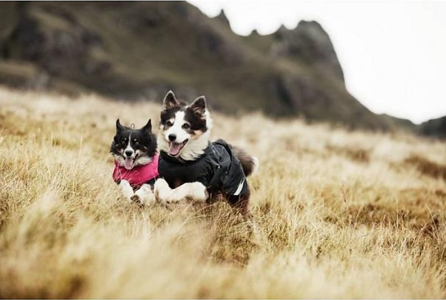Two collie dogs having a fantastic time bounding across the hills in their Hurrta Summit Waterproof dog coats in pink and blue. Great for a rainy day.