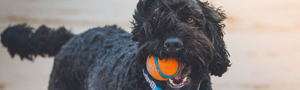 A poodle enjoying a day at the beach laying with an orange ball