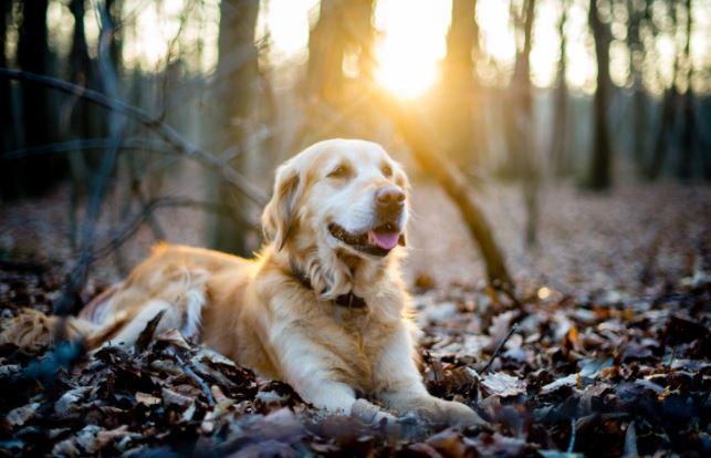 A dog enjoying a rest on an Autumnal woodland floor