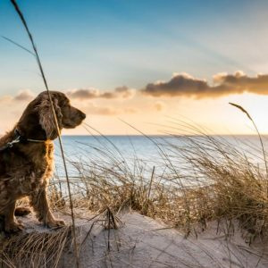 Spaniel looking out to sea and enjoying a dog friendly holiday